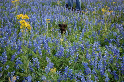 Pup in bluebonnets